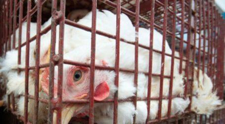 دجاج: الغالبية تذبح بشكل غير منظم!