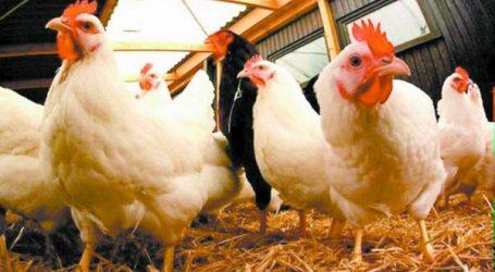 """دجاج """"الكروازي"""": الأطباء البياطرة يطمئنون المغاربة"""