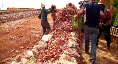 هولندا تقدم خبرتها في تخزين البصل بالحاجب